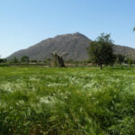 India – Rajasthan – Pushkar – Countryside – Barley Field – 5