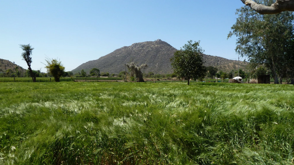 India - Rajasthan - Pushkar - Countryside - Barley Field - 5